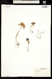 Image of Breitungia oregana