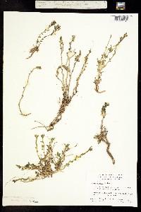 Image of Cockerellia nivea