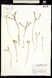 Image of Dudleya blochmaniae