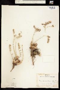 Image of Dudleya angustiflora