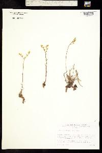 Image of Dudleya multicaulis