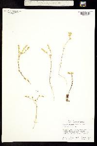 Image of Dudleya variegata