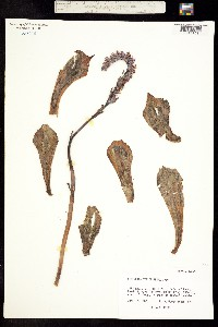 Image of Echeveria strictiflora