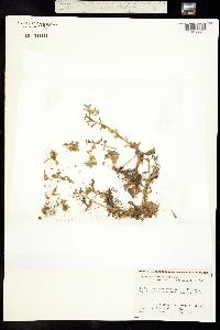 Image of Gormania spathulifolia