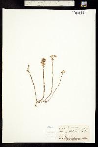 Image of Sedum pulchellum