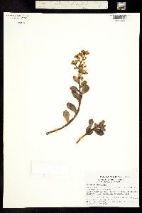 Image of Sedum dendroideum