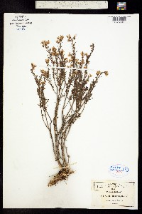 Sedum cockerellii image