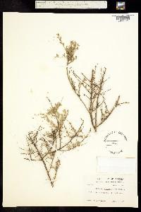 Glossopetalon planitierum image