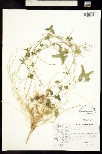 Brandegea bigelovii image
