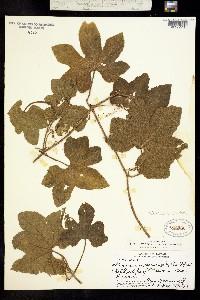 Image of Sicyos macrophyllus