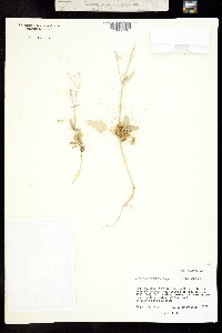 Cuscuta leptantha image