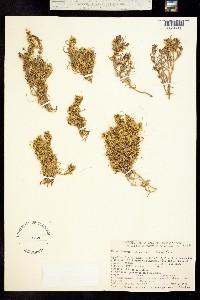 Cuscuta salina image