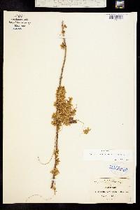 Image of Cuscuta corymbosa