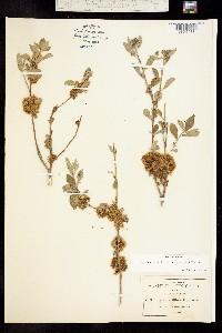 Image of Cuscuta gracillima