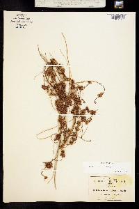 Image of Cuscuta mitriformis