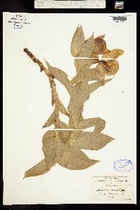 Image of Cypripedium molle