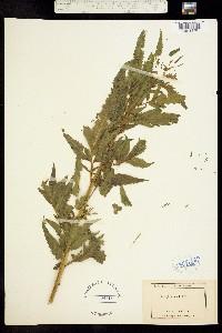 Datisca glomerata image