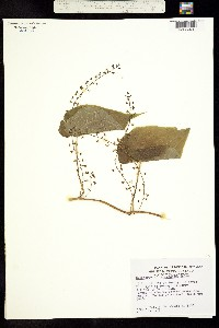 Dioscorea composita image
