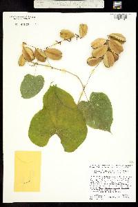 Image of Dioscorea esculenta
