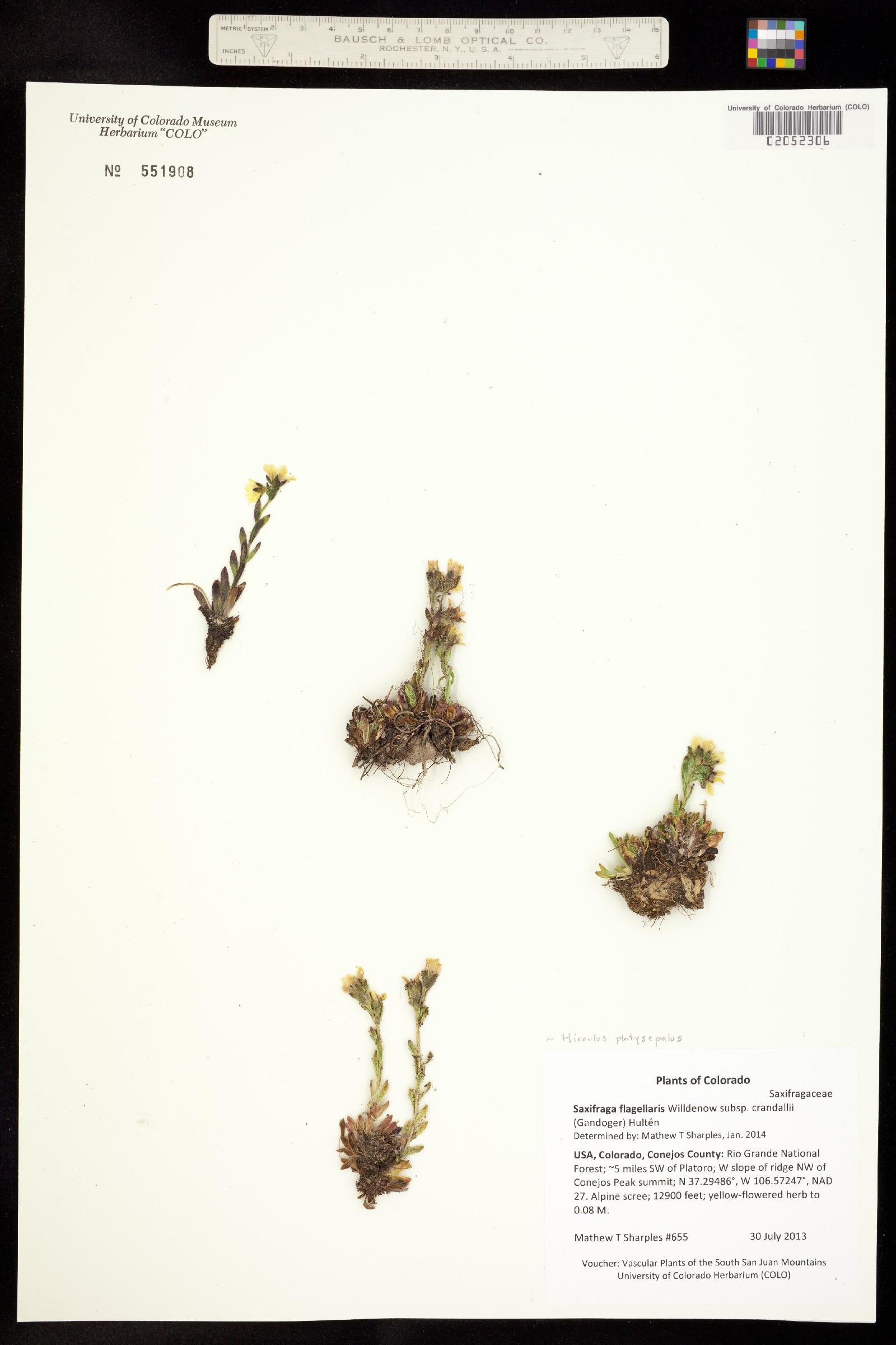 Hirculus platysepalus image