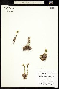 Image of Saxifraga platysepala