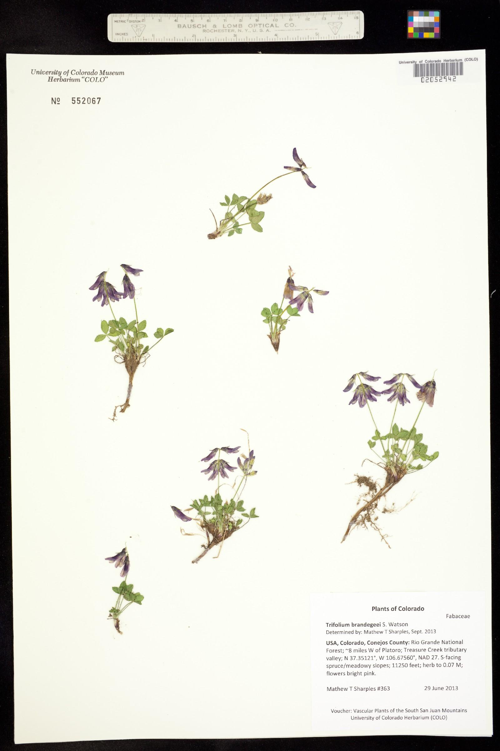 Trifolium brandegeei image