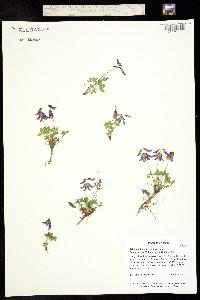 Image of Trifolium brandegeei