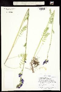 Image of Polemonium occidentale