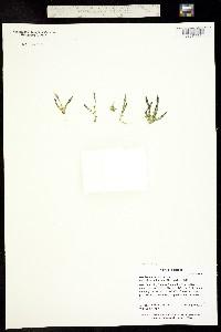 Gentiana prostrata image