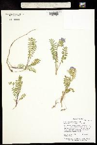 Image of Polemonium pulcherrimum