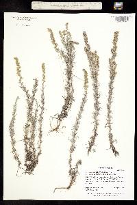 Artemisia carruthii image