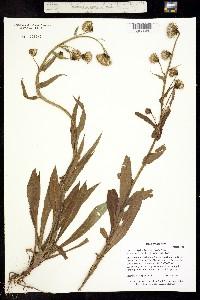 Image of Ligularia bigelovii