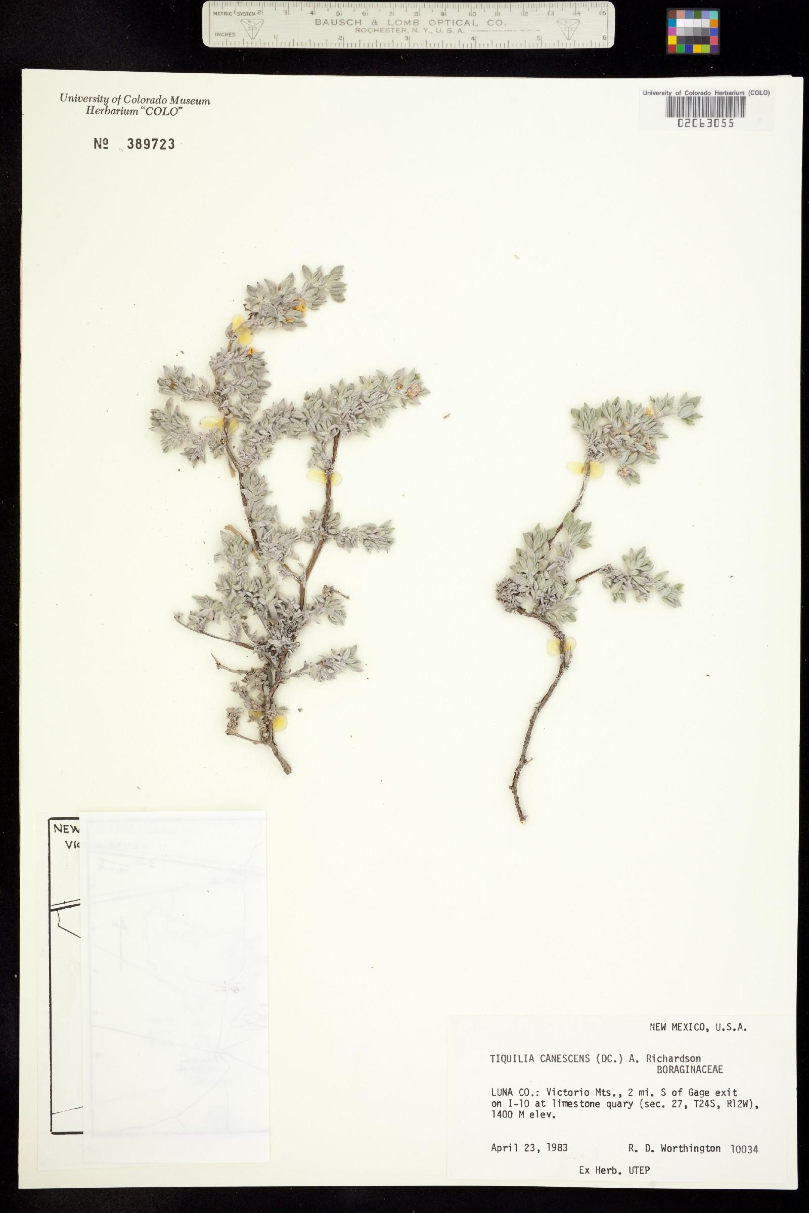 Ehretiaceae image