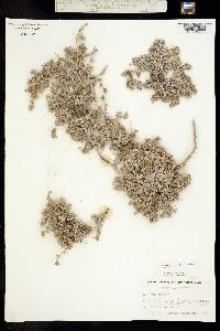 Tiquilia gossypina image