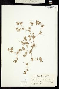 Tiquilia nuttallii image