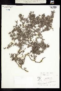 Tiquilia purpusii image