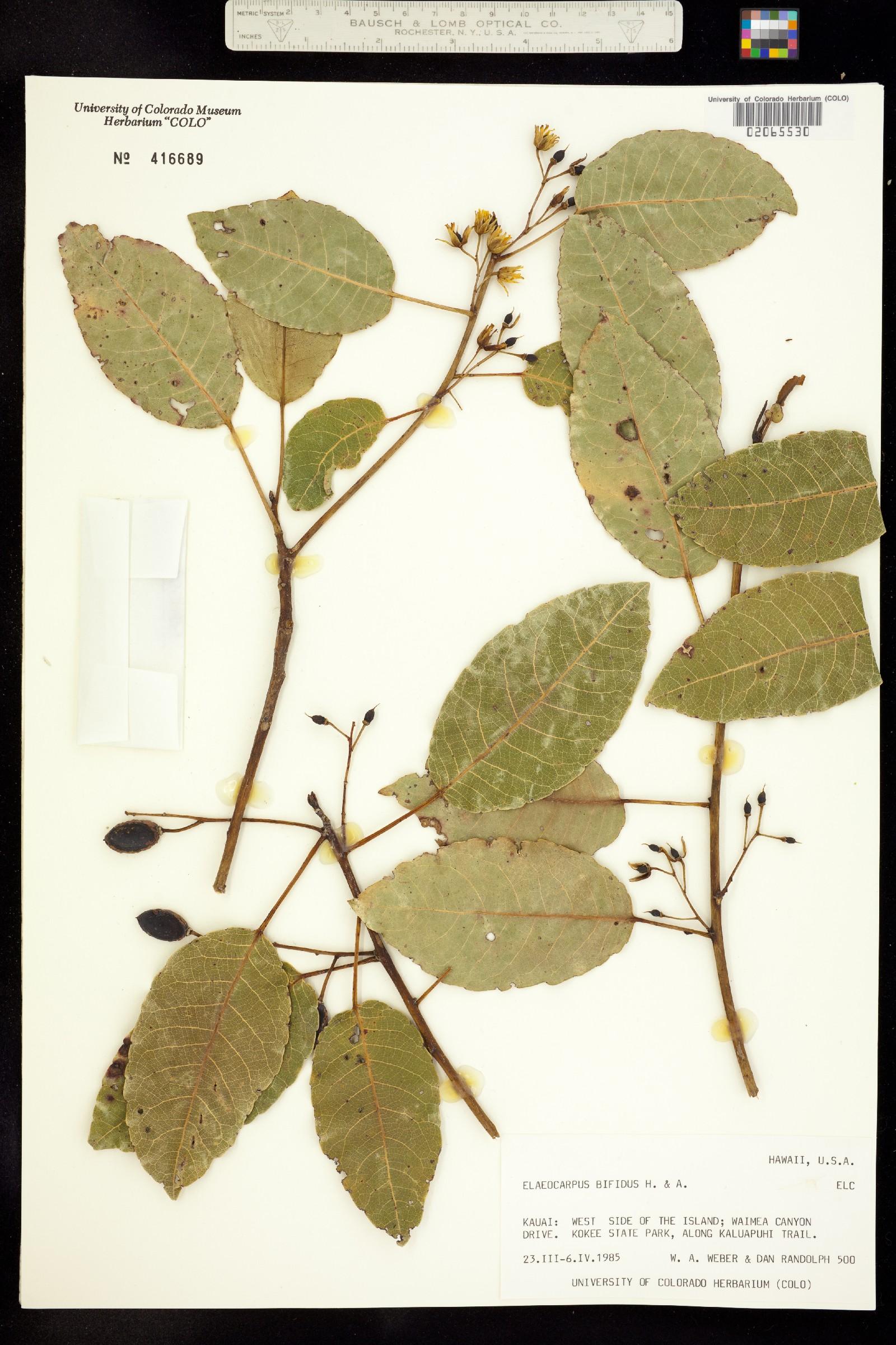 Elaeocarpaceae image