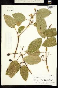Image of Elaeocarpus bifidus