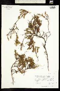 Empetrum hermaphroditum image