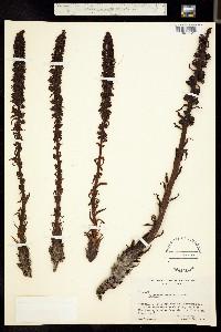 Allotropa virgata image