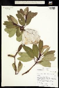 Image of Arbutus arizonica