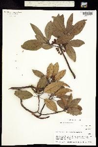Image of Arbutus xalapensis
