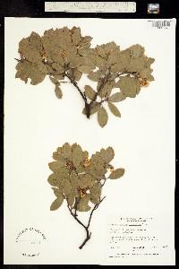 Image of Arctostaphylos columbiana
