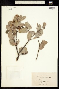 Arctostaphylos cushingiana image