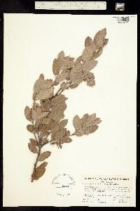 Image of Arctostaphylos glandulosa