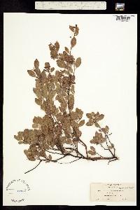 Image of Arctostaphylos hookeri