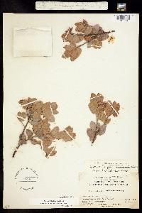 Image of Arctostaphylos obispoensis
