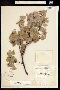 Image of Arctostaphylos pilosula