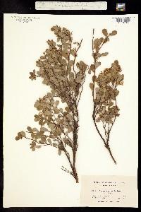 Image of Arctostaphylos pumila