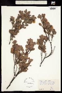 Image of Arctostaphylos silvicola